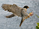 Peregrine falcon © John Goodall