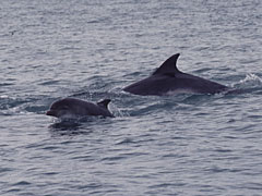 Bottlenose dolphins and calf