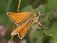 Essex Skipper