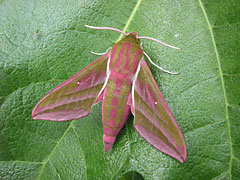 Elephant Hawk Moth