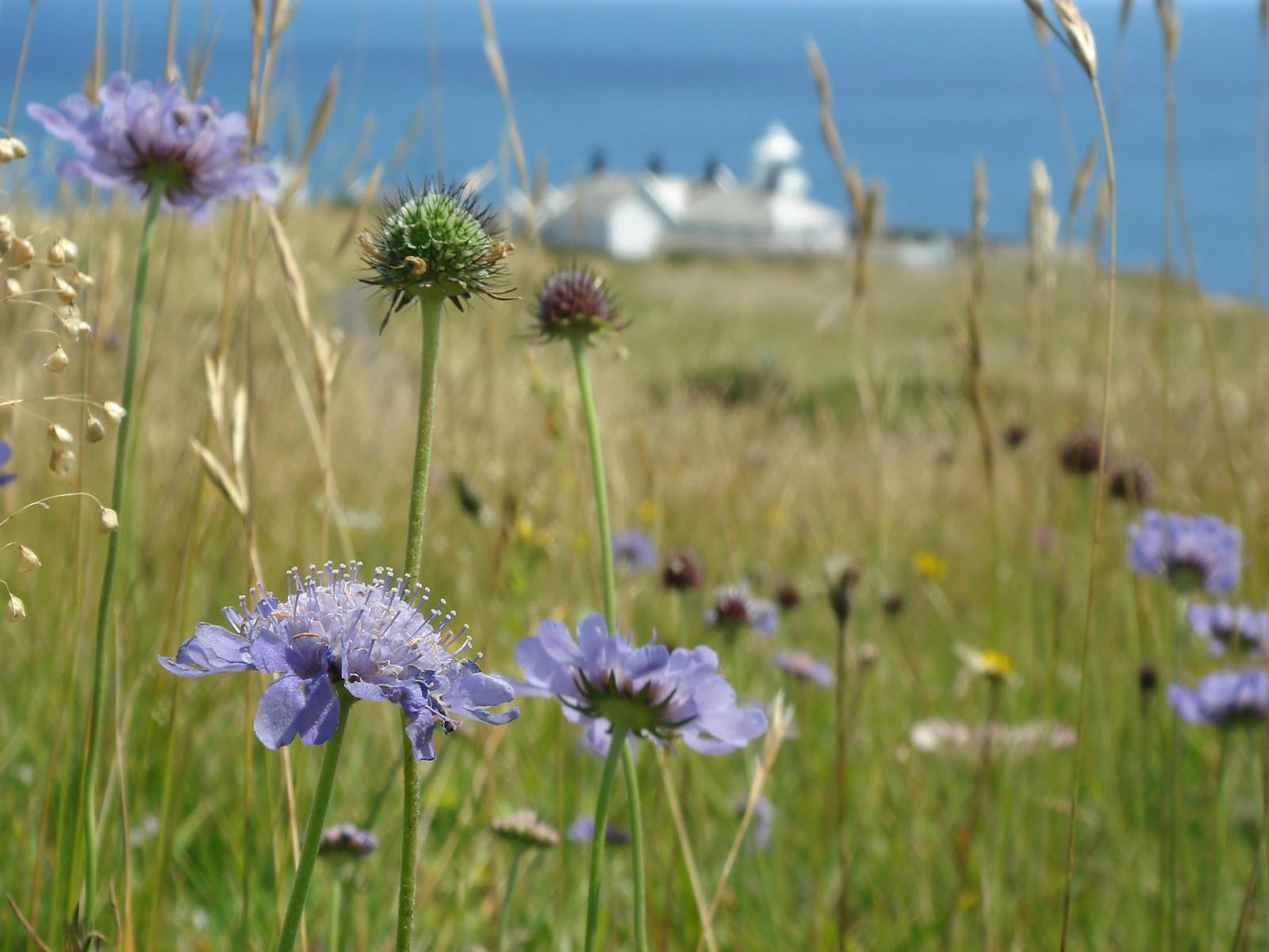 Wild flowers at Durlston