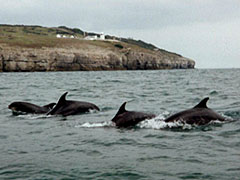 Bottlenose dolphins off Durlston Head