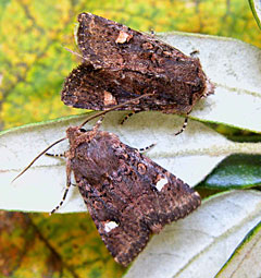 Oak Rustic Moth
