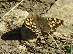 Speckled Wood on Stones